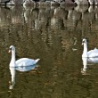 Royalty-Free Stock Photo: Two swan floating on a pond