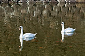 Two swan floating on a pond — Stock Photo