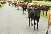 Cattle drive on a road — Stock Photo