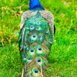 Beautiful and pride peacock on a lawn — Stock Photo #5109378