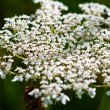 Yarrow plant flower head — Stock Photo