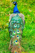 Beautiful and pride peacock on a lawn — Stock Photo