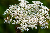 Yarrow plant flower head — Stock Photo
