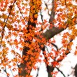 Autumn red leaves on a tree — Stock Photo