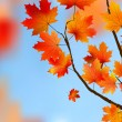 thumbnail of Red maple Tree Leaves against blue sky.