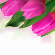 Royalty-Free Stock Vector Image: Pink tulip with blurred backgrounds.
