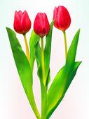 Tres tulipanes. eps 8 — Vector de stock