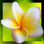 フランジパニのプルメリアの花。eps 8 — ストックベクタ