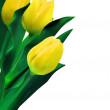 žluté tulipány proti Bílému pozadí. EPS 8 — Stock vektor