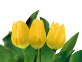 Bright yellow tulips isolated on white. EPS 8 — Stock Vector