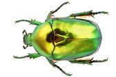 Protaetia Aeruginosa — Stock Photo