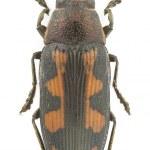 buprestis novemmaculata — Stockfoto
