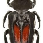 Cyclidius elongatus — Stock Photo