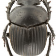 Scarabaeus laticollis — Stock Photo