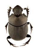 Onthophagus verticicornis — Stock Photo