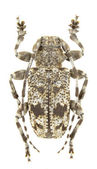 Aegomorphus clavipes — Stock Photo
