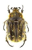 Tropinota squalida — 图库照片