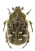 Tropinota paulae — Foto Stock