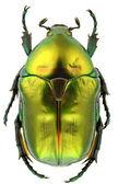 Protaetia affinis — Stock Photo