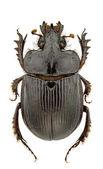 Ceratophyus hoffmannseggi — Fotografia Stock