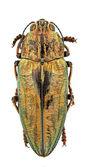 Chalcophora massiliensis — Stock Photo