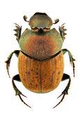 Onthophagus coenobita — Foto de Stock