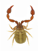 Pseudoscorpion — 图库照片