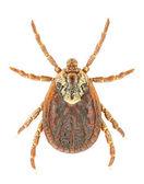 Dermacentor marginatus — ストック写真