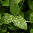 Stock Photo: Dewdrops