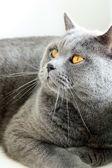 Gato britânico — Foto Stock