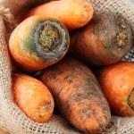 Organic ripe orange carrot — Stock Photo