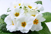 White spring flowers with green leaves — Stock Photo