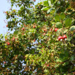 Stock Photo: Cashew nuts on tree