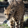Cheetah — Stock Photo #5276932
