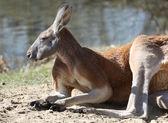 Kangoeroe — Stockfoto