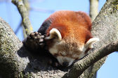 Red Panda — Стоковое фото