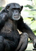 Chimp monkey — Stock Photo