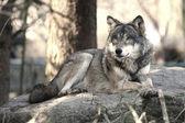 Wild Wolf — Stockfoto