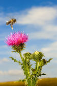 A bee flew over the thistle flower — Stock Photo