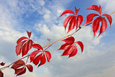 Branch of wild grapes with red autumn leaves — Stock Photo