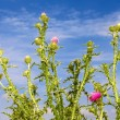 Stock Photo: Group thistle flowering plants