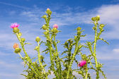 Group thistle flowering plants — Stock Photo