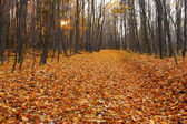 Cut-through in the fall hornbeam wood, lined with dead leaves — Stock Photo