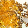 A birch tree in autumn season. Lateral view - Stock Photo