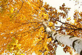 A birch tree in autumn season. Lateral view — Stock Photo