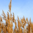 Stock Photo: Tops dry plant cane. Vertical