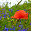 Red poppy blooming in the field - Stock Photo