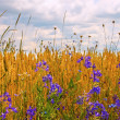 Wildflowers on the edge of wheat field - Stock Photo