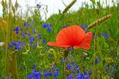 Papavero rosso fiorisce in campo — Foto Stock