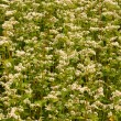 Flowering buckwheat field - Stock Photo